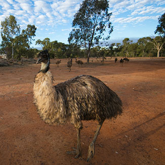 Emu in the outback.