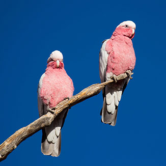 Two pink birds on a tree branch.