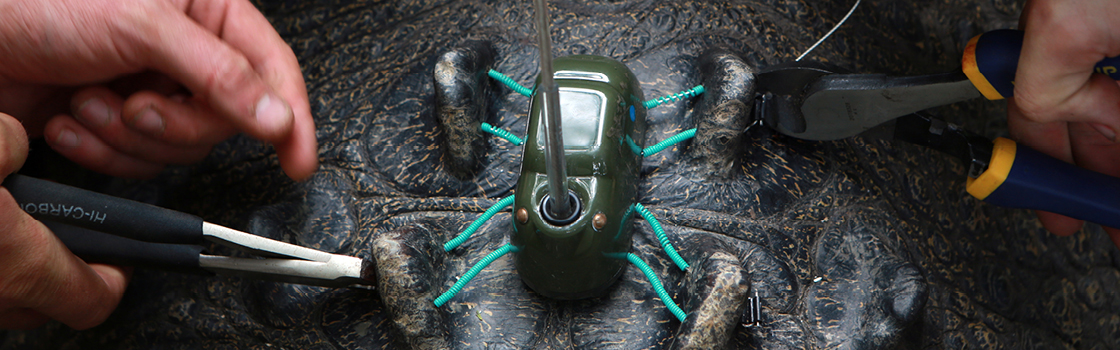 Crocodile tracker being put on a croc.