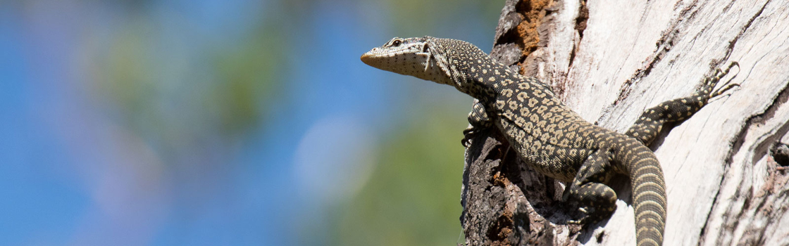 Reptile in the trees.