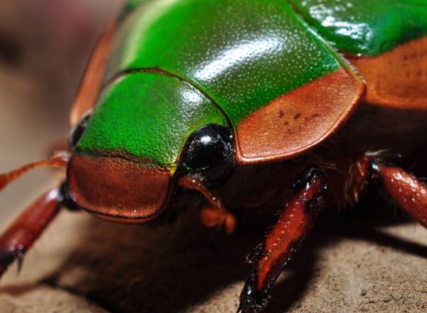 Green bug up close.
