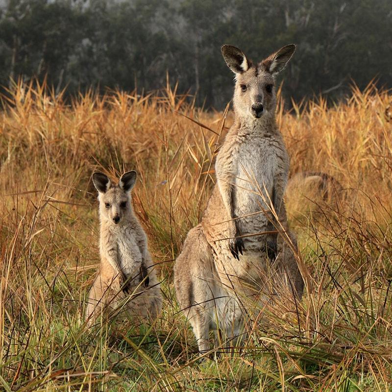 Two kangaroos in a field.