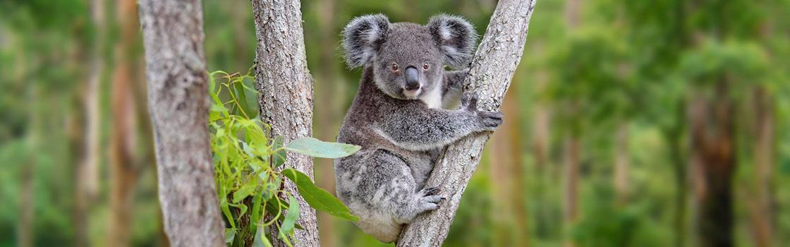 Support Wildlife - Adopt an Animal - Koala (Koya) 1120x350