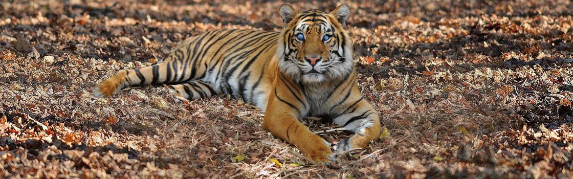Support Wildlife - Adopt an Animal - Sumatran Tiger (Hunter)Support Wildlife - Adopt an Animal - Sumatran Tiger (Hunter)