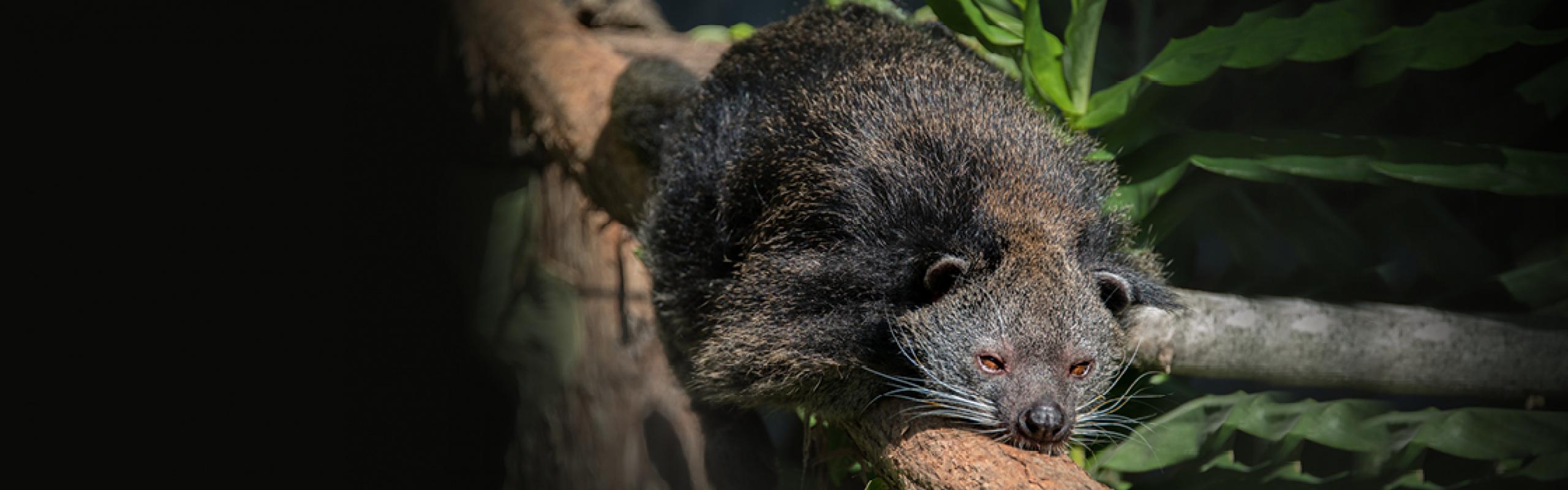 Wildlife - Our Animals - Binturong
