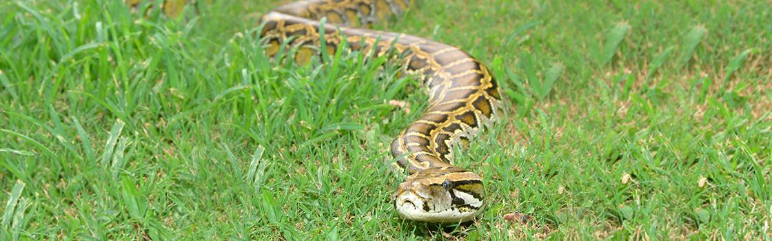 Wildlife - Our Animals - Burmese Python