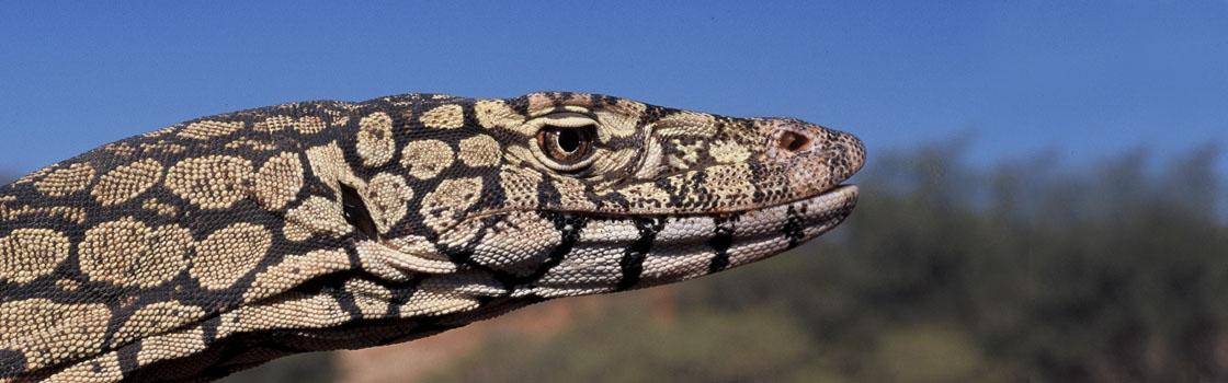 Wildlife - Our Animals - Reptile - Perentie 1120x350