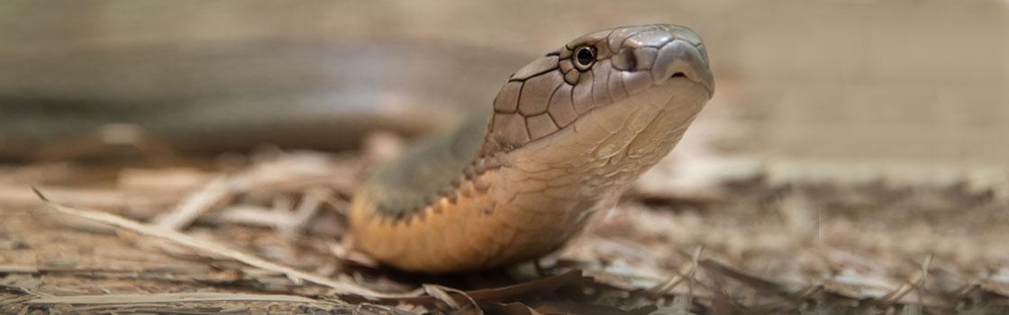 Wildlife - Our Animals - Snake - King Cobra 1120x350