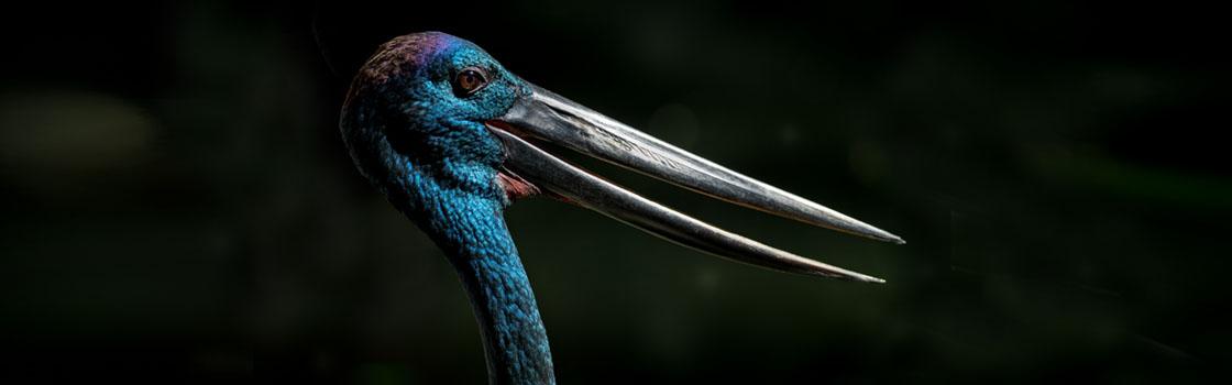 Wildlife - Our Animals - Stork - Black necked 1120x350