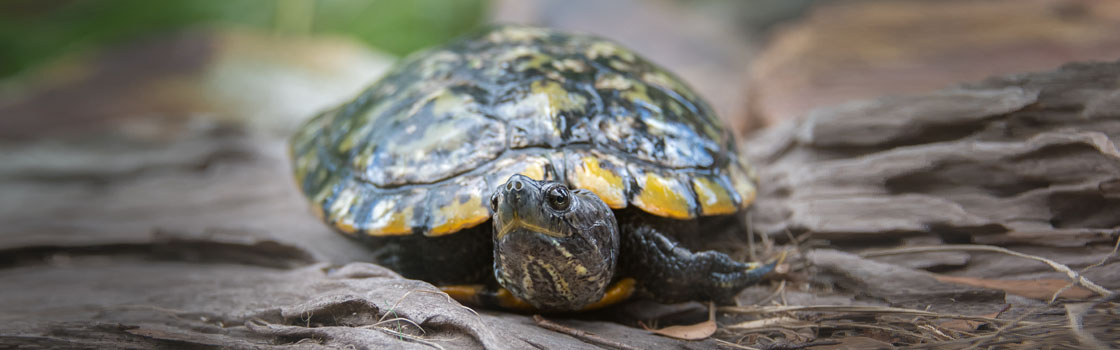 Wildlife - Our Animals - Turtle - Red-eared Sliders 1120x350