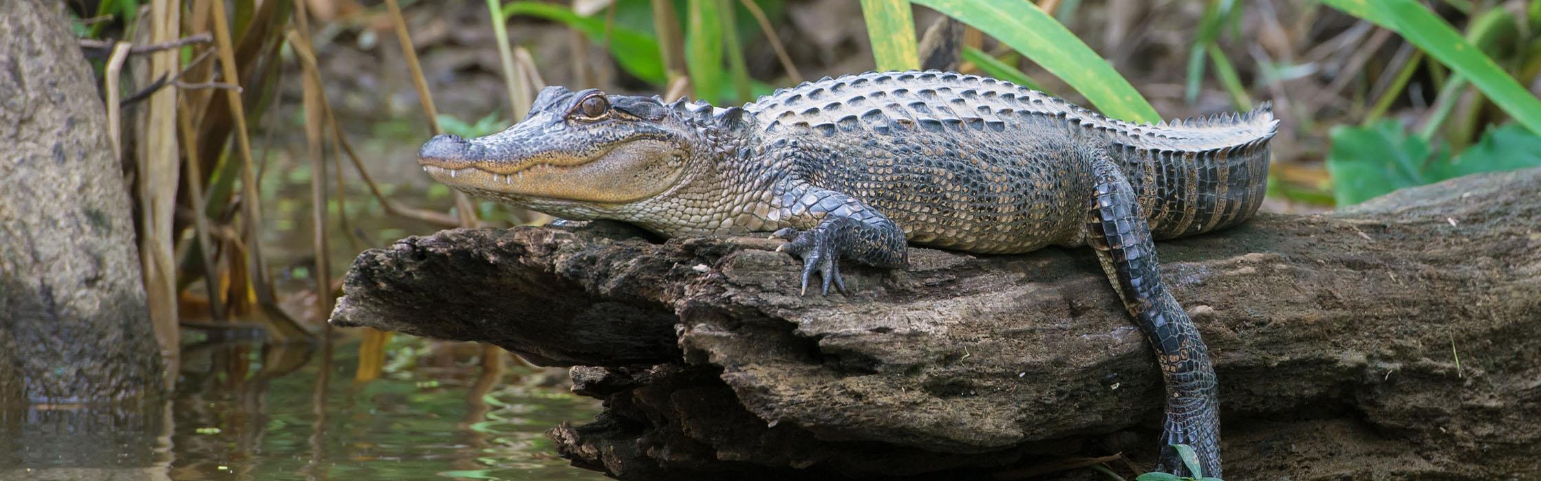 Wildlife-Our Animals-Alligator_American2240x700