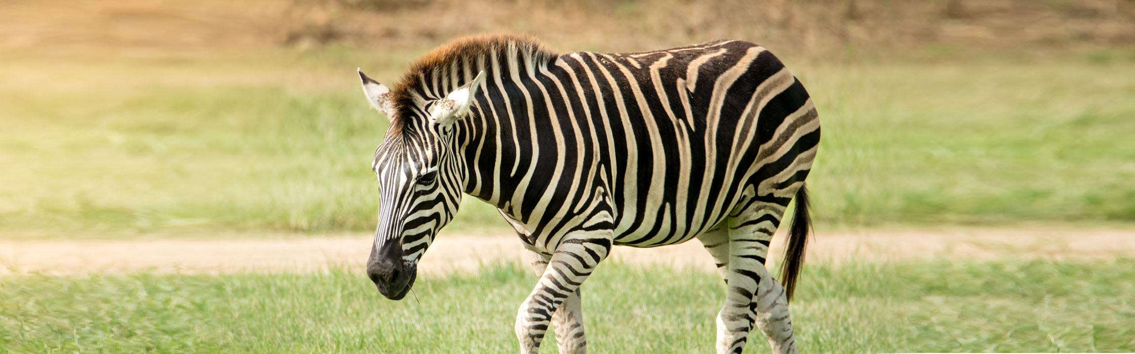 Wildlife-Our Animals-Zebra2240x700