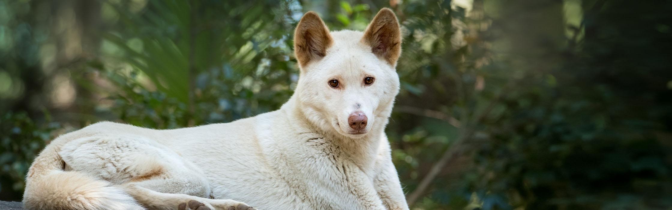 Support Wildlife - Adopt an Animal - Alpine Dingo (Archie) 2240x700