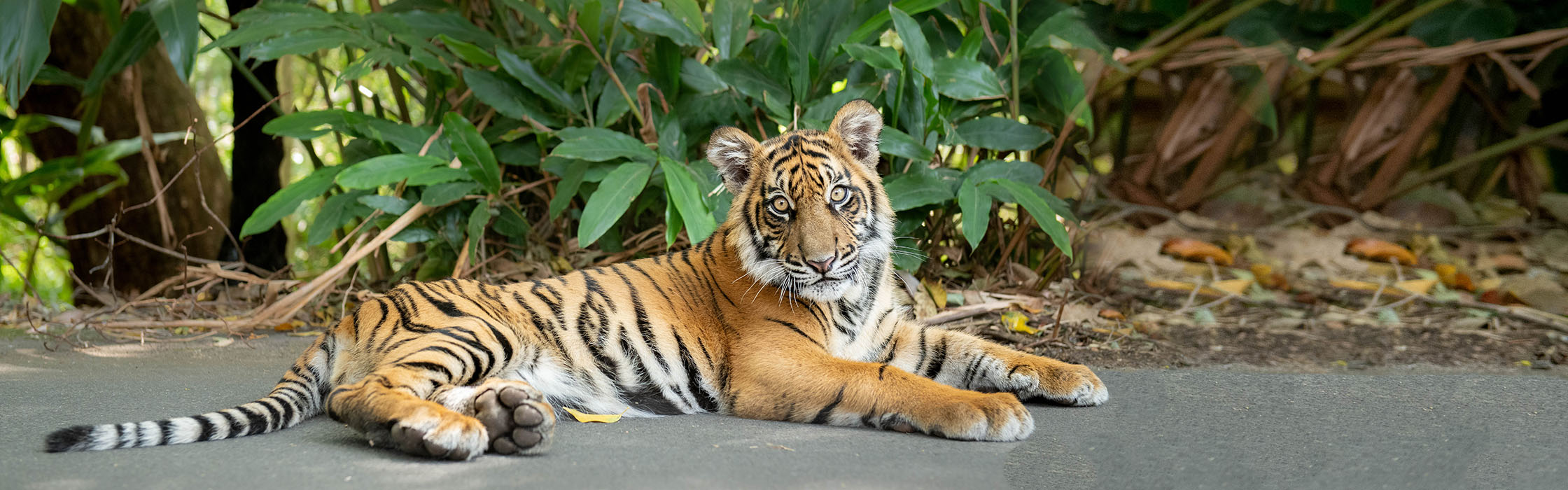 Sumatran Tiger Nelson Adopt an Animal