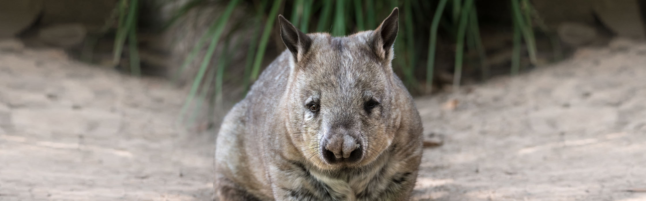 Wildlife - Our Animals - Wombat - Southern Hairy-Nosed2240x700