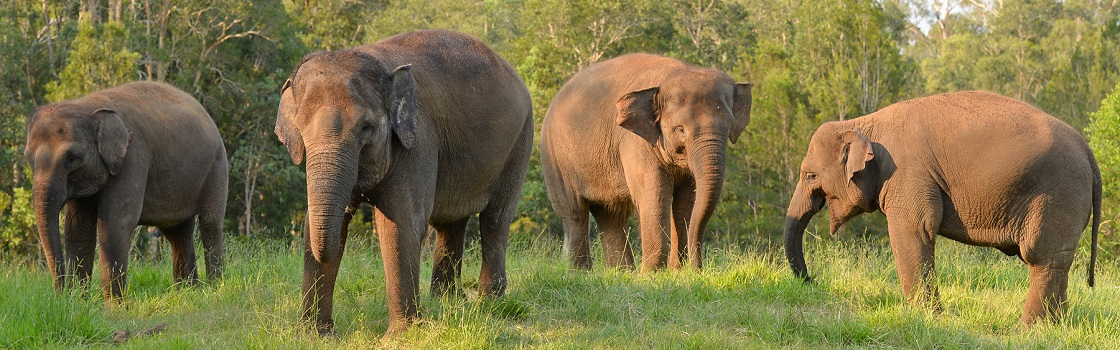 Australia Zoo's Sumatran elephants