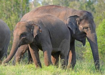 Young Sumatran elephants in a field