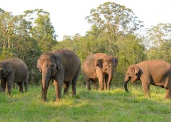 Four Sumatran elephants in a field