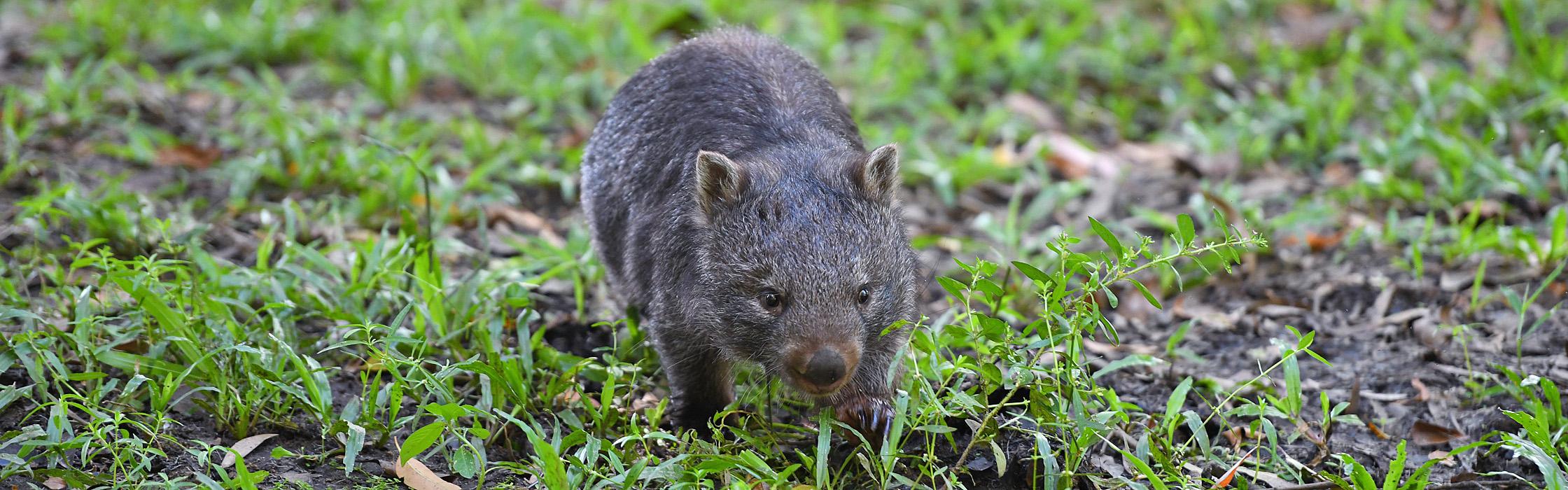 9143B_Wombat(Elle)_AustraliaZoo_AAA-banner