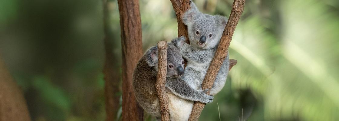 Australia Zoo Koalas
