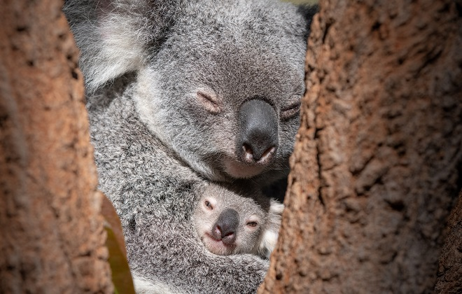 A koala and joey in a tree.
