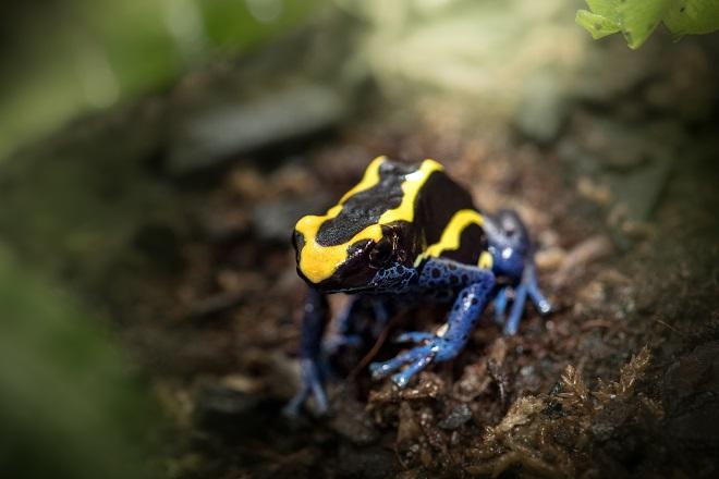 Poison Dart Frogs Australia Zoo