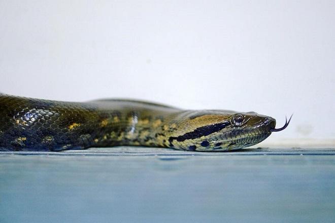 Green Anaconda Australia Zoo