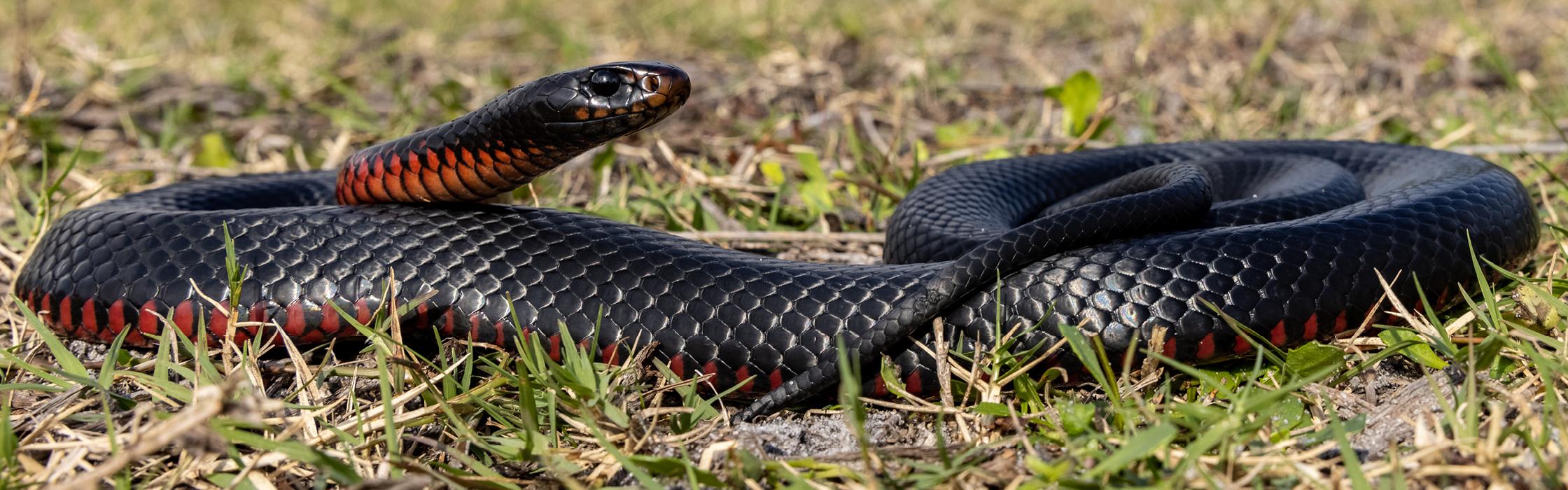 Red-bellied Black Snake Australia Zoo