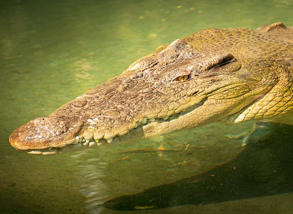crocodile in croc park