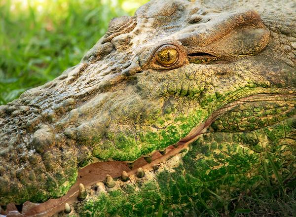 Croc in croc park